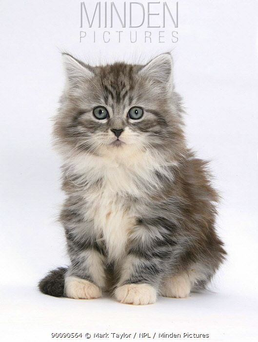 Maine Coon kitten, 8 weeks  -  Mark Taylor/ npl