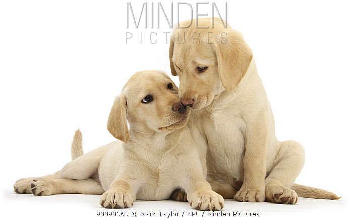 Two Yellow Labrador Retriever puppies, 10 weeks, touching noses  -  Mark Taylor/ npl