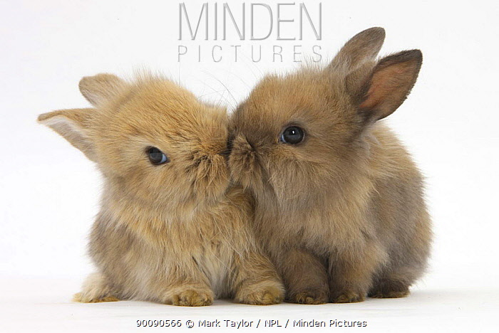 Two baby Lionhead-cross rabbits, touching noses  -  Mark Taylor/ npl