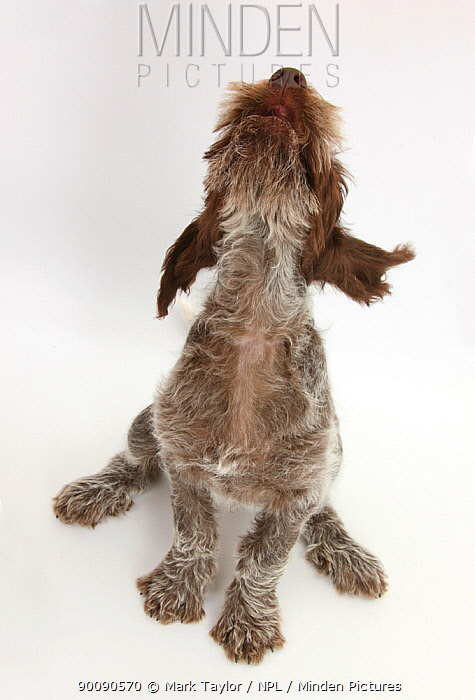 Brown Roan Italian Spinone puppy, Riley, 13 weeks, sitting looking up  -  Mark Taylor/ npl