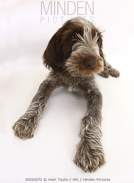 Brown Roan Italian Spinone puppy, Riley, 13 weeks, lying with head up  -  Mark Taylor/ npl