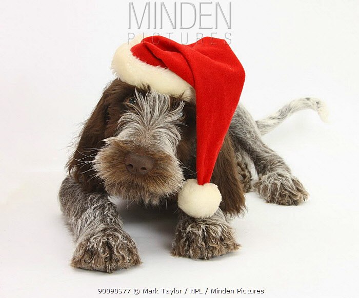 Brown Roan Italian Spinone puppy, Riley, 13 weeks, wearing a Father Christmas hat  -  Mark Taylor/ npl