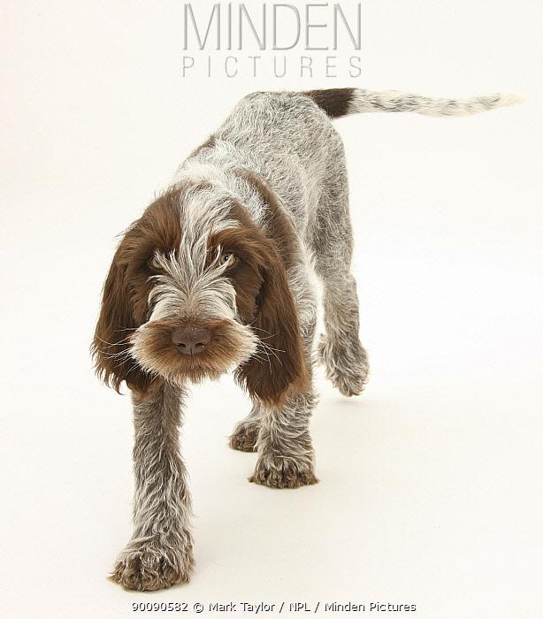 Brown Roan Italian Spinone puppy, Riley, 13 weeks, walking  -  Mark Taylor/ npl