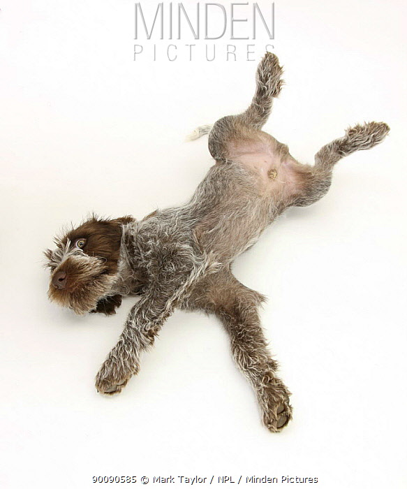 Brown Roan Italian Spinone puppy, Riley, 13 weeks, rolling on his back  -  Mark Taylor/ npl
