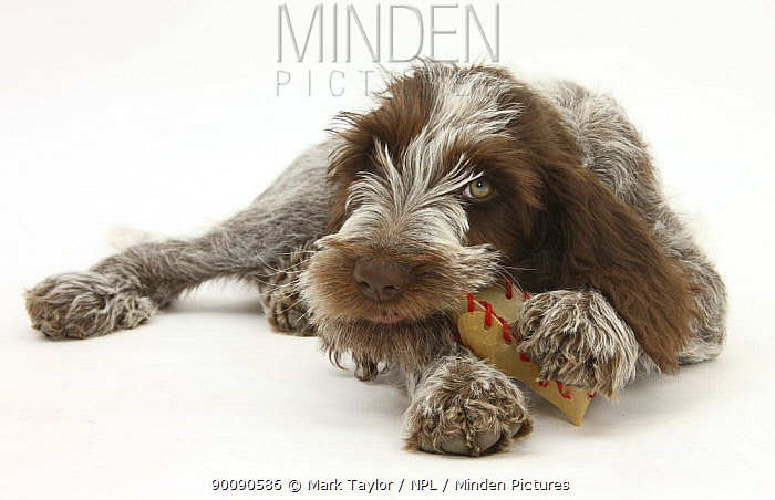 Brown Roan Italian Spinone puppy, Riley, 13 weeks, chewing a rawhide shoe  -  Mark Taylor/ npl