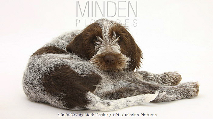 Brown Roan Italian Spinone puppy, Riley, 13 weeks, lying looking over his shoulder  -  Mark Taylor/ npl