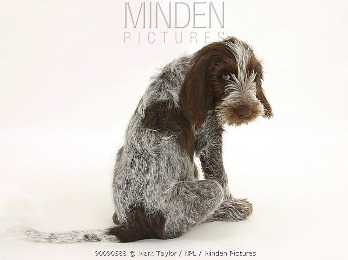 Brown Roan Italian Spinone puppy, Riley, 13 weeks, sitting looking over his shoulder  -  Mark Taylor/ npl