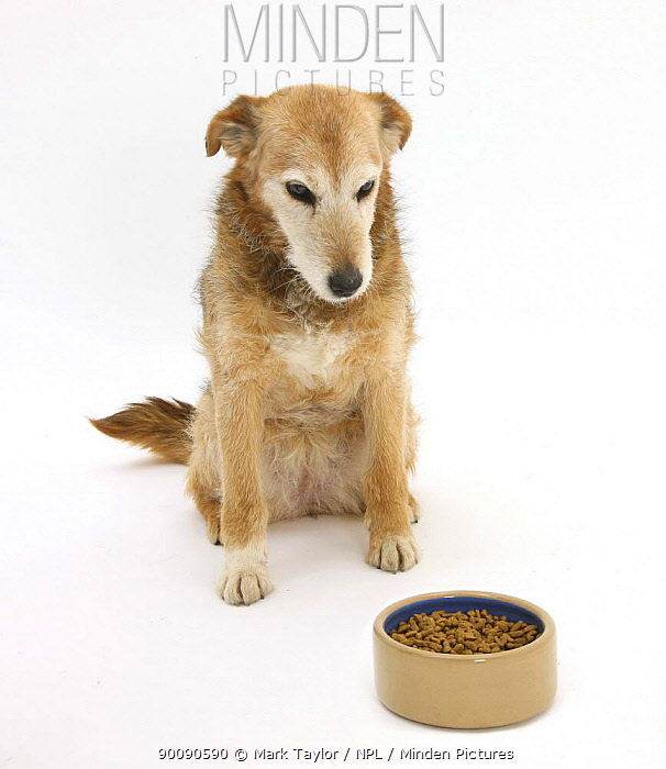 Lakeland Terrier x Border Collie, Bess, 14 years, looking forlornly at her food  -  Mark Taylor/ npl