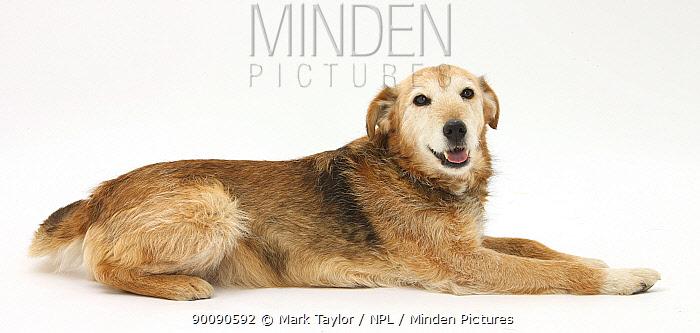 Lakeland Terrier x Border Collie, Bess, 14 years old  -  Mark Taylor/ npl