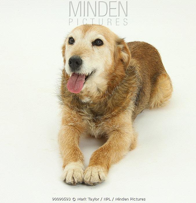 Lakeland Terrier x Border Collie, Bess, 14 years, panting  -  Mark Taylor/ npl