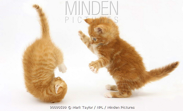 Two Ginger kittens, 7 weeks, play-fighting  -  Mark Taylor/ npl