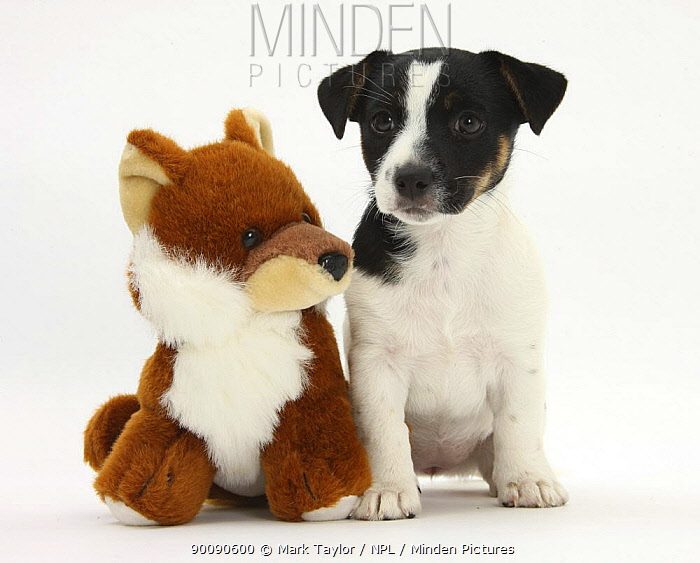 Jack Russell Terrier puppy, Ruby, 9 weeks, with soft toy fox  -  Mark Taylor/ npl