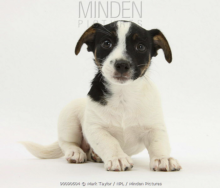 Jack Russell Terrier puppy, Ruby, 9 weeks old, sitting  -  Mark Taylor/ npl