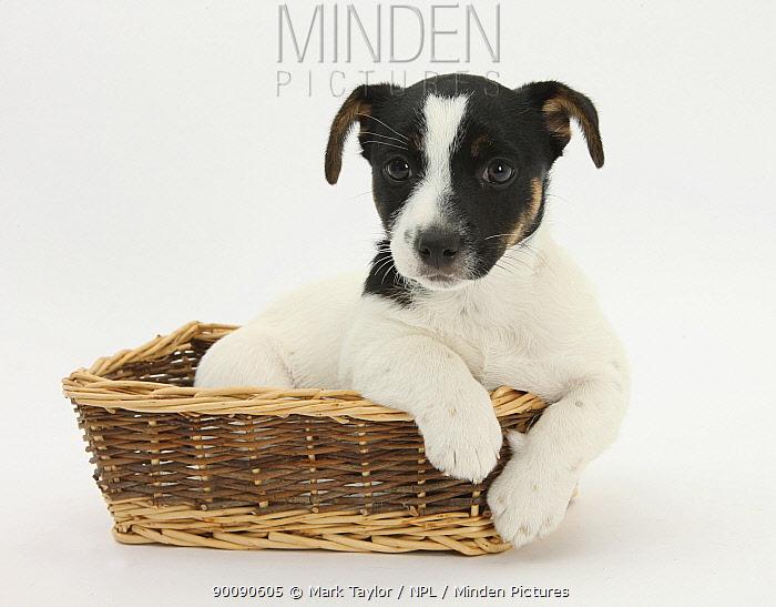 Jack Russell Terrier puppy, Ruby, 9 weeks, in a wicker basket  -  Mark Taylor/ npl