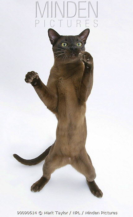 Burmese male cat, Murray, 9 months, standing on hind legs reaching out  -  Mark Taylor/ npl