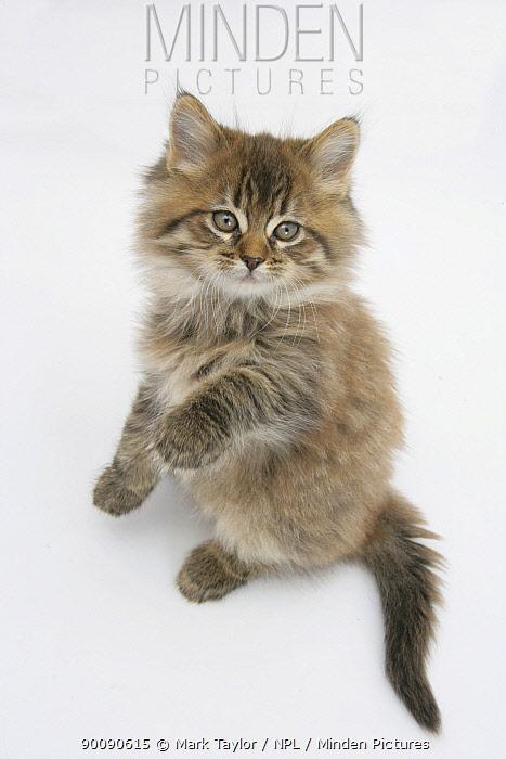 Maine Coon kitten, 8 weeks, standing up  -  Mark Taylor/ npl
