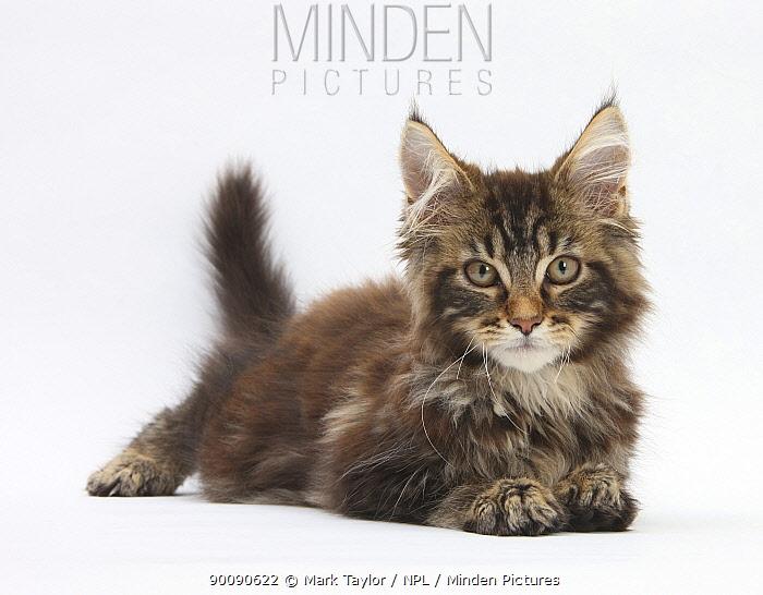 Tabby Maine Coon kitten, Logan, 12 weeks, lying with head up  -  Mark Taylor/ npl