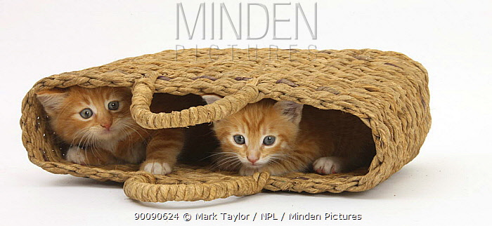 Two Ginger kittens hiding in a raffia bag  -  Mark Taylor/ npl