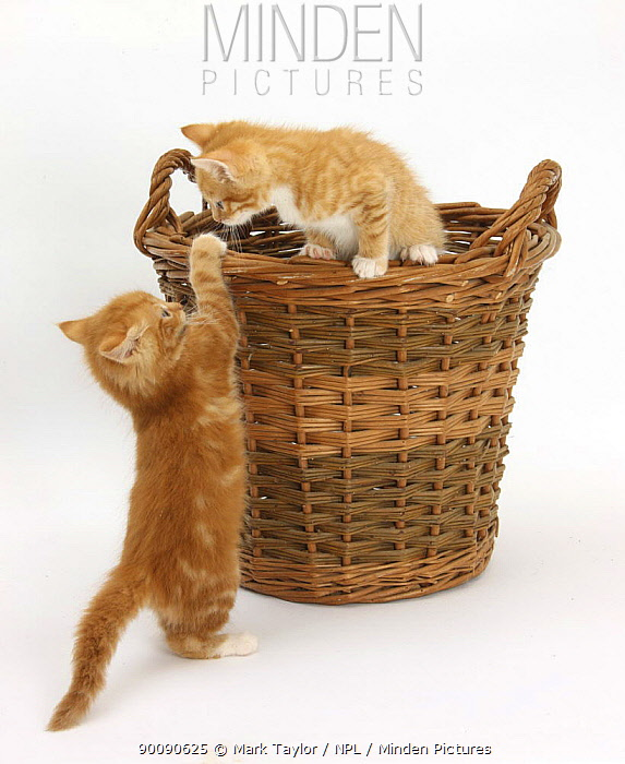 Two Ginger kittens playing in a wicker basket  -  Mark Taylor/ npl