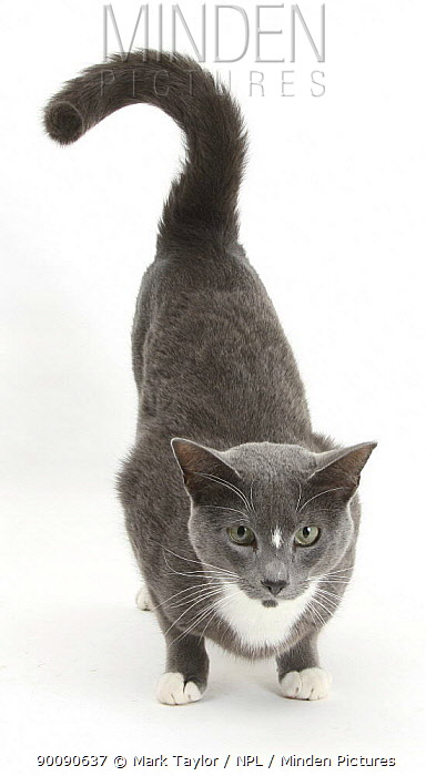 Blue-and-white Burmese-cross cat, Levi, crouching with bottom up  -  Mark Taylor/ npl