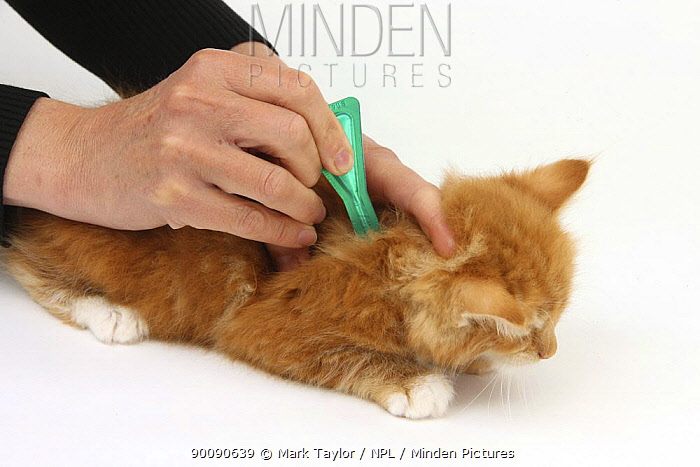 Applying spot-on flea treatment to a ginger kitten  -  Mark Taylor/ npl