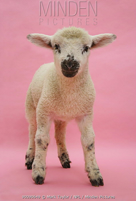 Lamb portrait  -  Mark Taylor/ npl