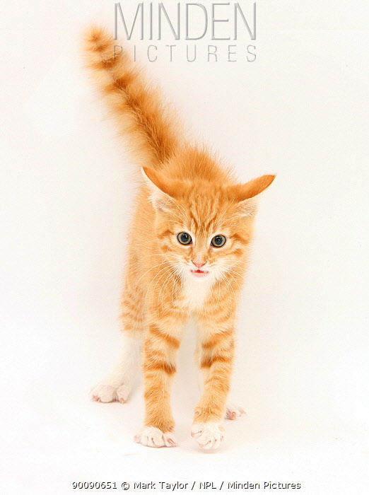 Ginger kitten with tail in the air  -  Mark Taylor/ npl
