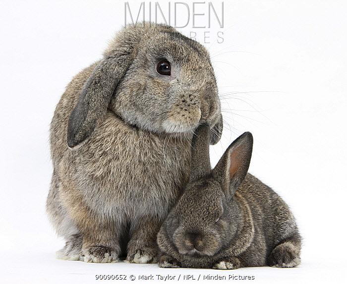 Grey adult Lop and baby Agouti rabbits  -  Mark Taylor/ npl
