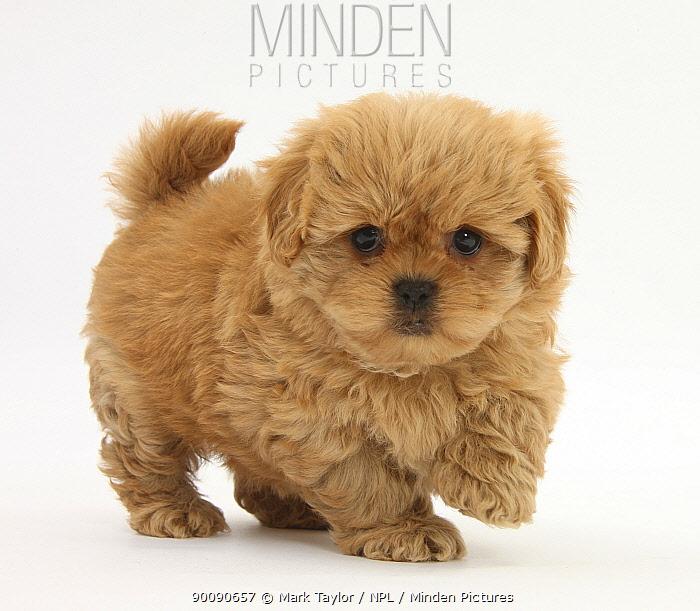 Peekapoo (Pekingese x Poodle) puppy, 7 weeks  -  Mark Taylor/ npl
