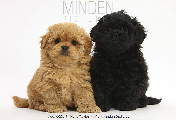 Two Peekapoo (Pekingese x Poodle) puppies, 7 weeks  -  Mark Taylor/ npl