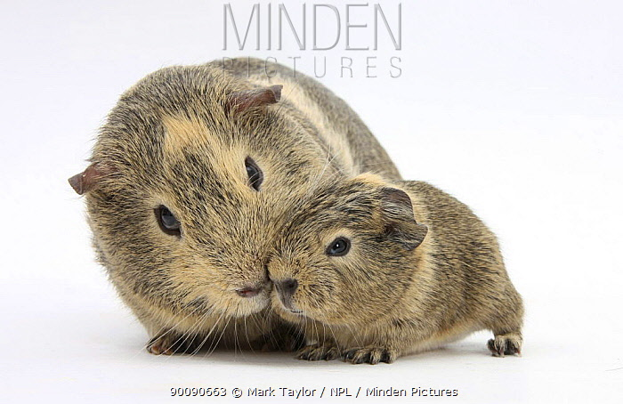 Yellow-agouti adult and baby Guinea pigs  -  Mark Taylor/ npl