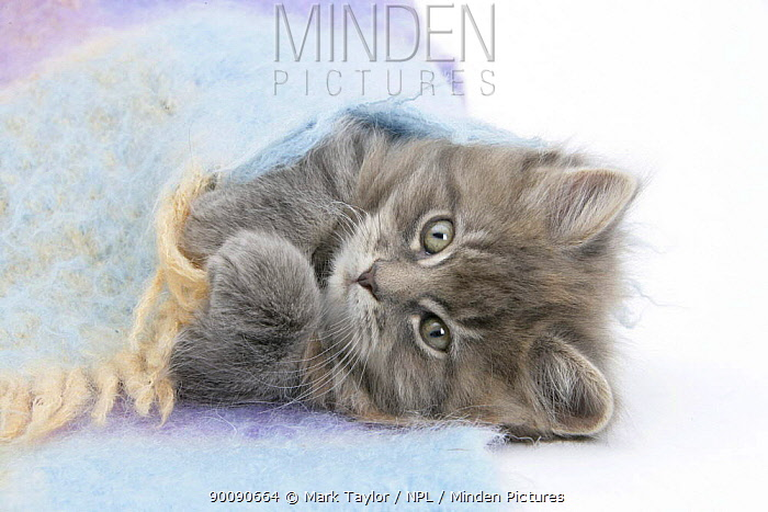 Maine Coon kitten looking out from under a blanket  -  Mark Taylor/ npl