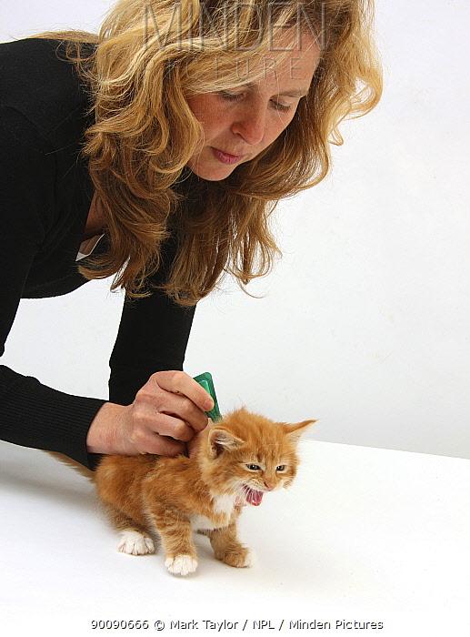Applying spot-on flea treatment to a ginger kitten, model released  -  Mark Taylor/ npl
