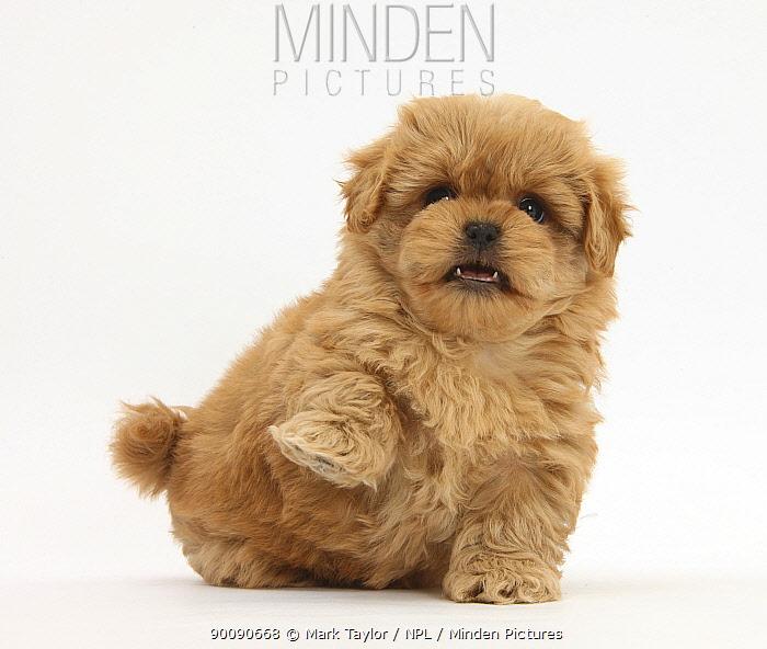 Playful Peekapoo (Pekingese x Poodle) puppy, 7 weeks, holding up paw  -  Mark Taylor/ npl