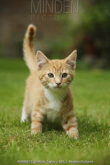 Ginger kitten walking on lawn  -  Mark Taylor/ npl