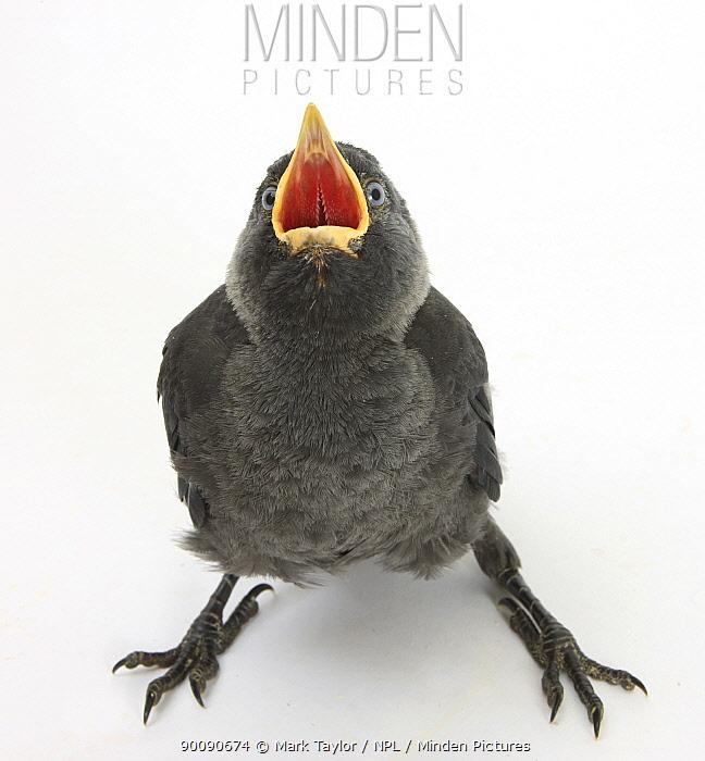 Baby Jackdaw (Corvus monedula) gaping to be fed  -  Mark Taylor/ npl