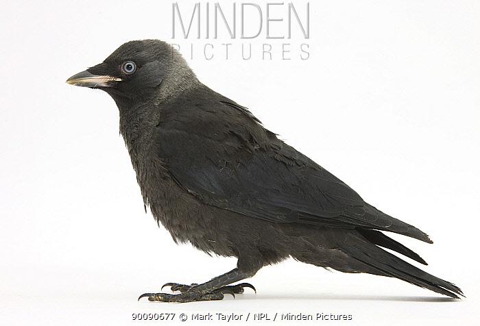 Baby Jackdaw (Corvus monedula) profile  -  Mark Taylor/ npl