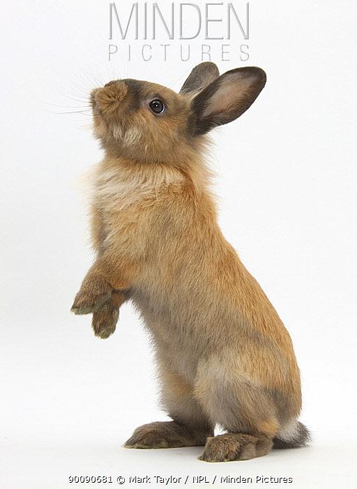 Lionhead-cross rabbit sitting up on its haunches  -  Mark Taylor/ npl