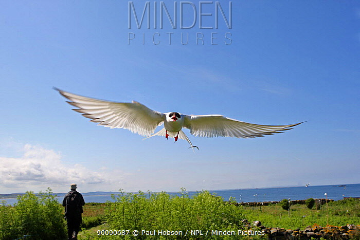 Arctic tern (Sterna paradisaea) calling in flight with person walking, Scotland  -  Paul Hobson/ npl