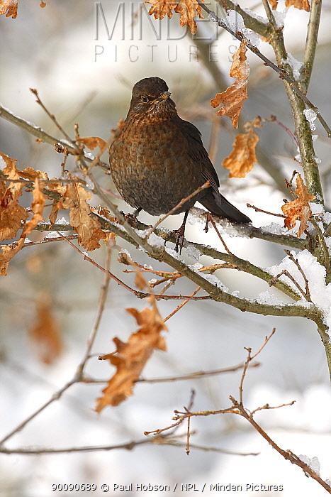 Blackbird (Turdus merula) perched in tree, South Yorkshire, UK  -  Paul Hobson/ npl