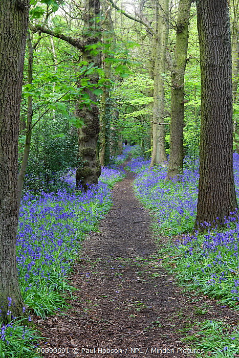 Path in a Bluebell (Endymion non-scriptus) wood, Derbyshire, UK  -  Paul Hobson/ npl