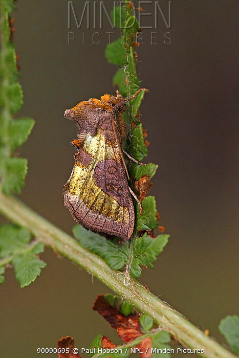 Burnished brass moth (Diachrysia, Plusia chrysitis) South Yorkshire, UK  -  Paul Hobson/ npl