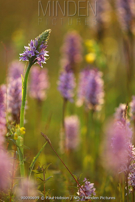 Common spotted orchids (Dactylorhiza fuschii) in flower, Peak District, UK  -  Paul Hobson/ npl