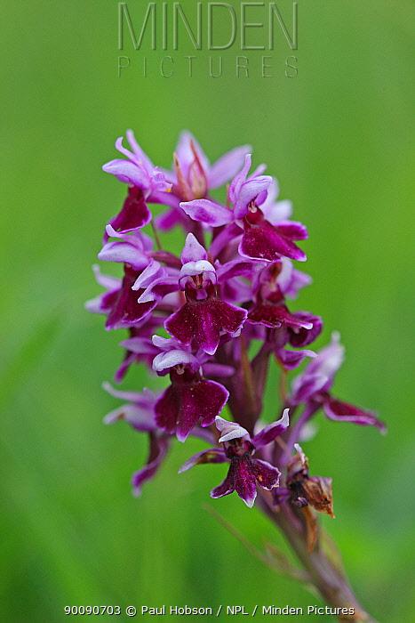 Common spotted orchid var rhodochila (Dactylorhiza fuschii) flower, Bonsall, Derbyshire, UK  -  Paul Hobson/ npl