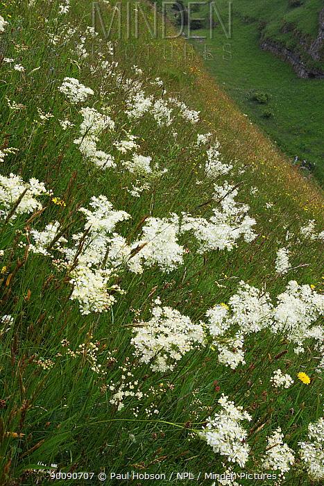 Dropwort (Filipendula vulgaris) flowers on a south facing slope, Lathkill Dale, Peak District, UK  -  Paul Hobson/ npl