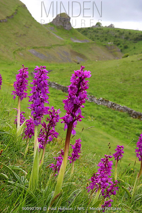 Early purple orchids (Orchis mascula) in flower, Cressbrook Dale, Derbyshire, UK  -  Paul Hobson/ npl