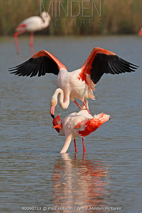 Greater flamingo (Phoenicopterus ruber) pair mating, Camargue, France  -  Paul Hobson/ npl