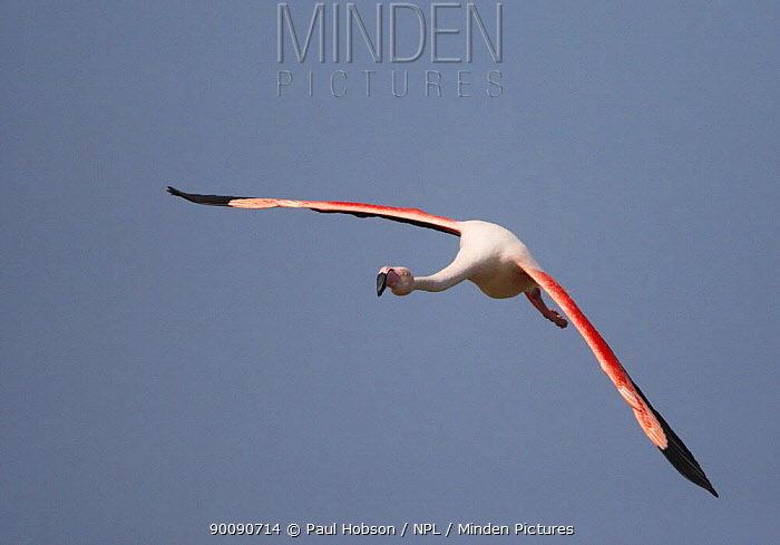 Greater flamingo (Phoenicopterus ruber) in flight, Camargue, France  -  Paul Hobson/ npl