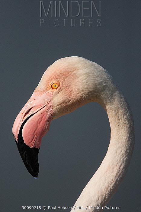 Greater flamingo (Phoenicopterus ruber) portrait, Camargue, France  -  Paul Hobson/ npl