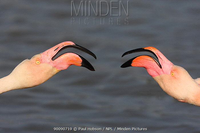 Two Greater flamingos (Phoenicopterus ruber) interacting, Camargue, France  -  Paul Hobson/ npl